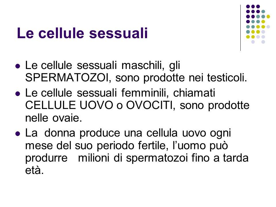 Le cellule sessuali Le cellule sessuali maschili, gli SPERMATOZOI, sono prodotte nei testicoli.