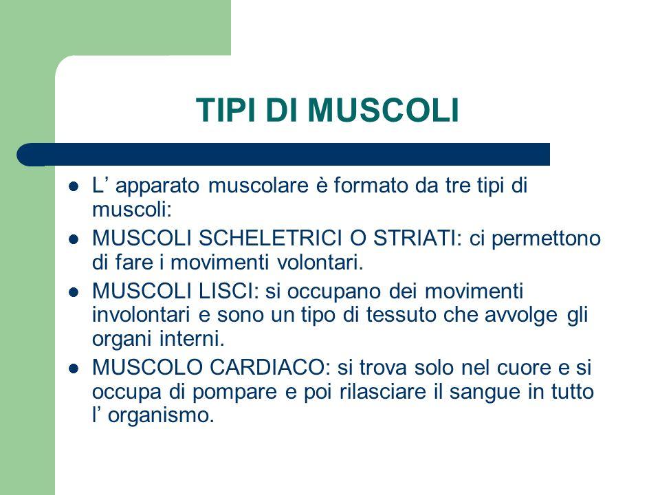 TIPI DI MUSCOLI L apparato muscolare è formato da tre tipi di muscoli: MUSCOLI SCHELETRICI O STRIATI: ci permettono di fare i movimenti volontari. MUS