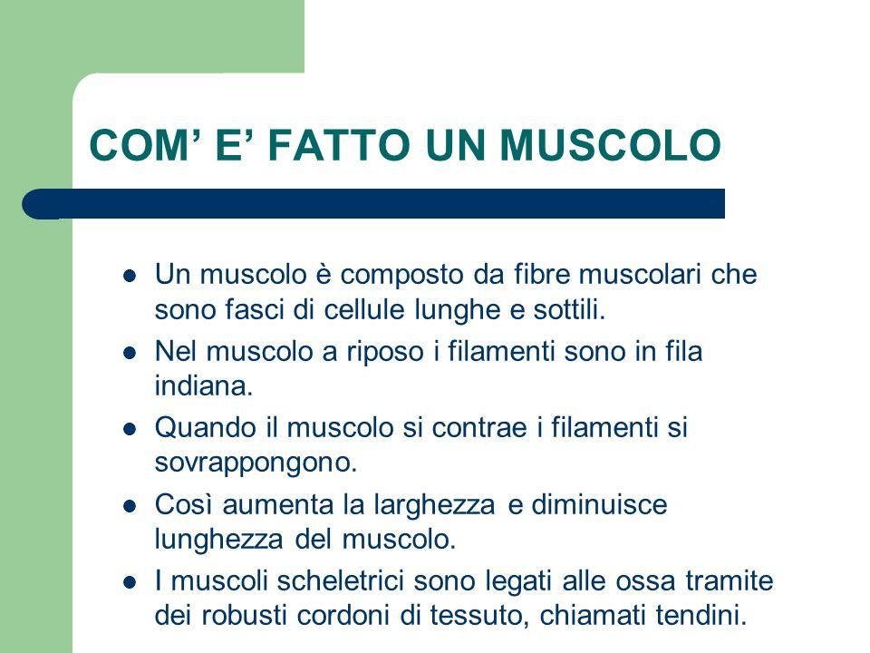 COM E FATTO UN MUSCOLO Un muscolo è composto da fibre muscolari che sono fasci di cellule lunghe e sottili. Nel muscolo a riposo i filamenti sono in f
