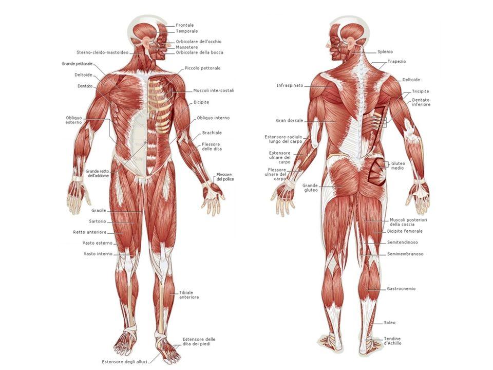COME LAVORA UN MUSCOLO Il cervello invia al muscolo lordine di mettersi al lavoro.
