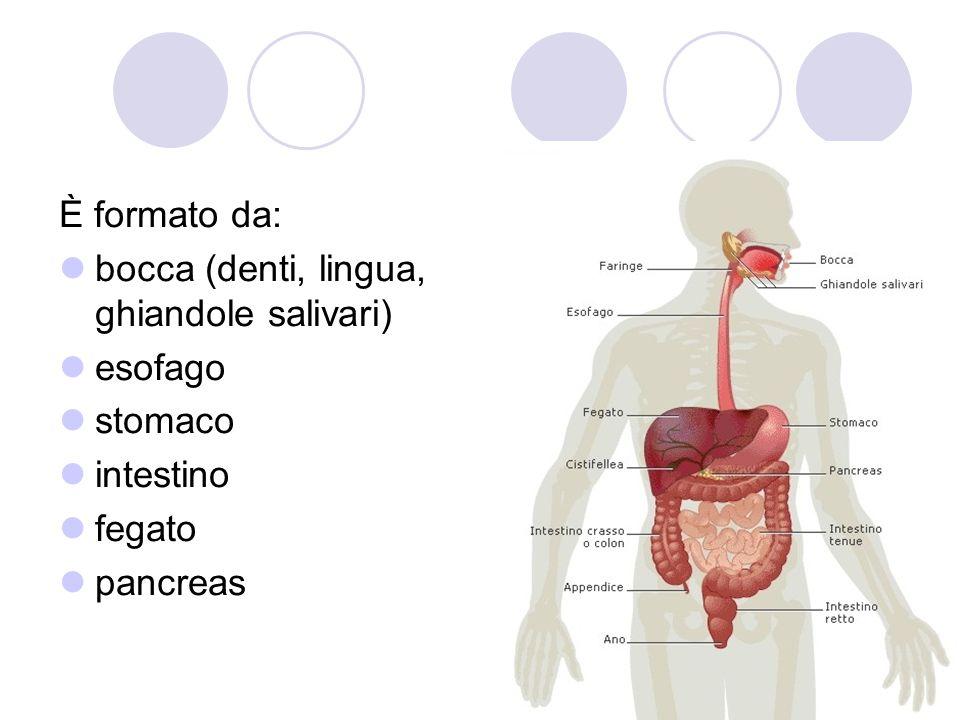 È formato da: bocca (denti, lingua, ghiandole salivari) esofago stomaco intestino fegato pancreas