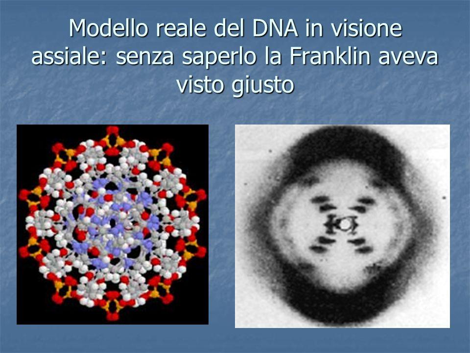 Modello reale del DNA in visione assiale: senza saperlo la Franklin aveva visto giusto