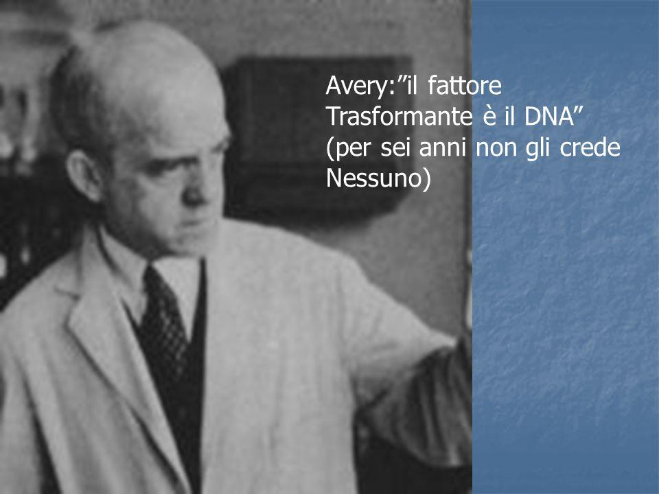 Avery:il fattore Trasformante è il DNA (per sei anni non gli crede Nessuno)