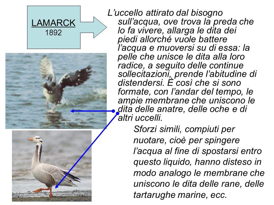 LAMARCK 1892 Luccello attirato dal bisogno sullacqua, ove trova la preda che lo fa vivere, allarga le dita dei piedi allorché vuole battere lacqua e m