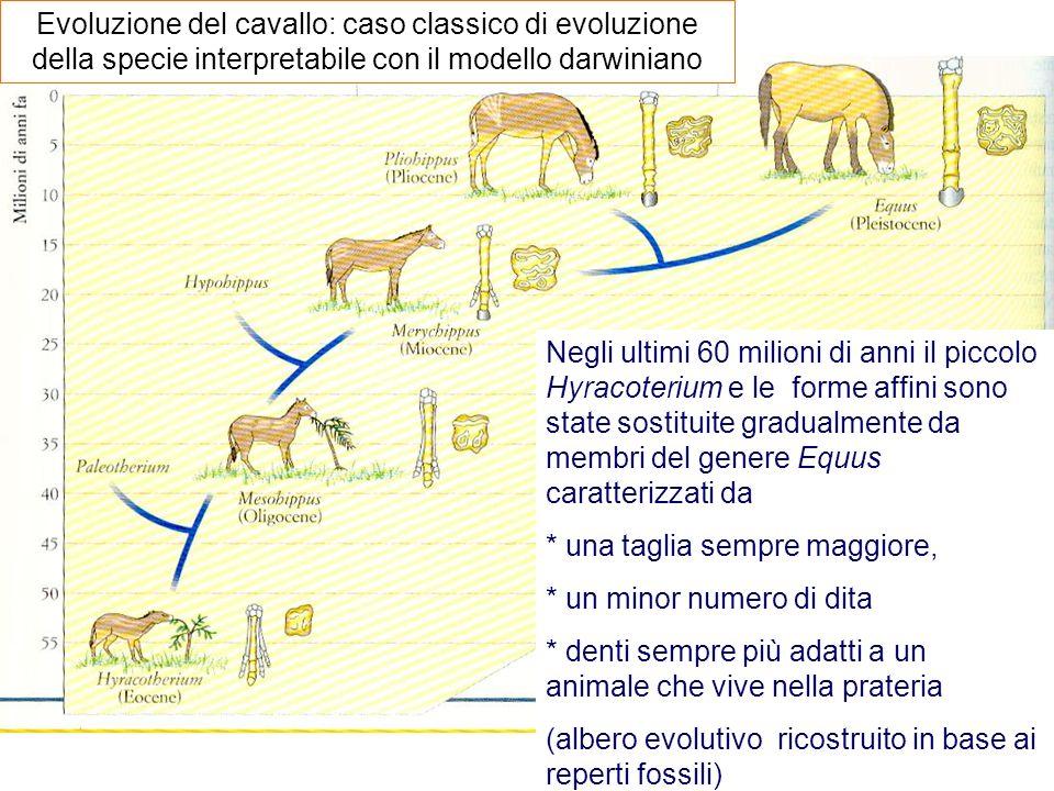 Evoluzione del cavallo: caso classico di evoluzione della specie interpretabile con il modello darwiniano Negli ultimi 60 milioni di anni il piccolo H
