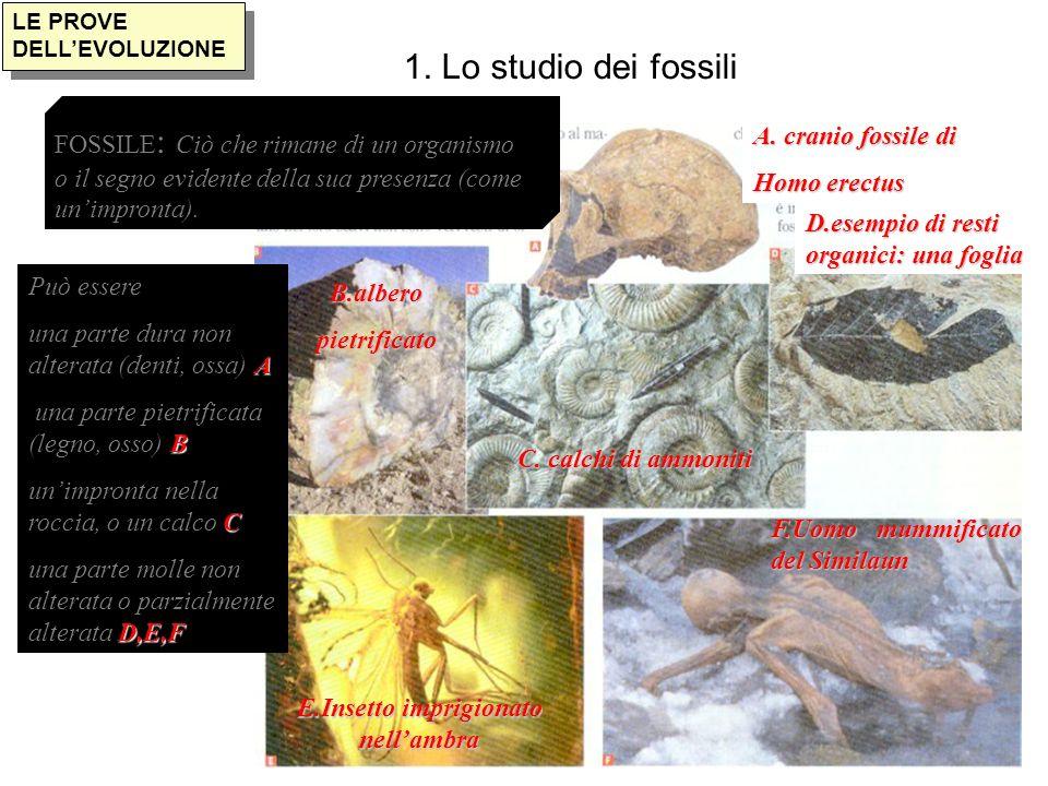1. Lo studio dei fossili LE PROVE DELLEVOLUZIONE Può essere A una parte dura non alterata (denti, ossa) A B una parte pietrificata (legno, osso) B C u