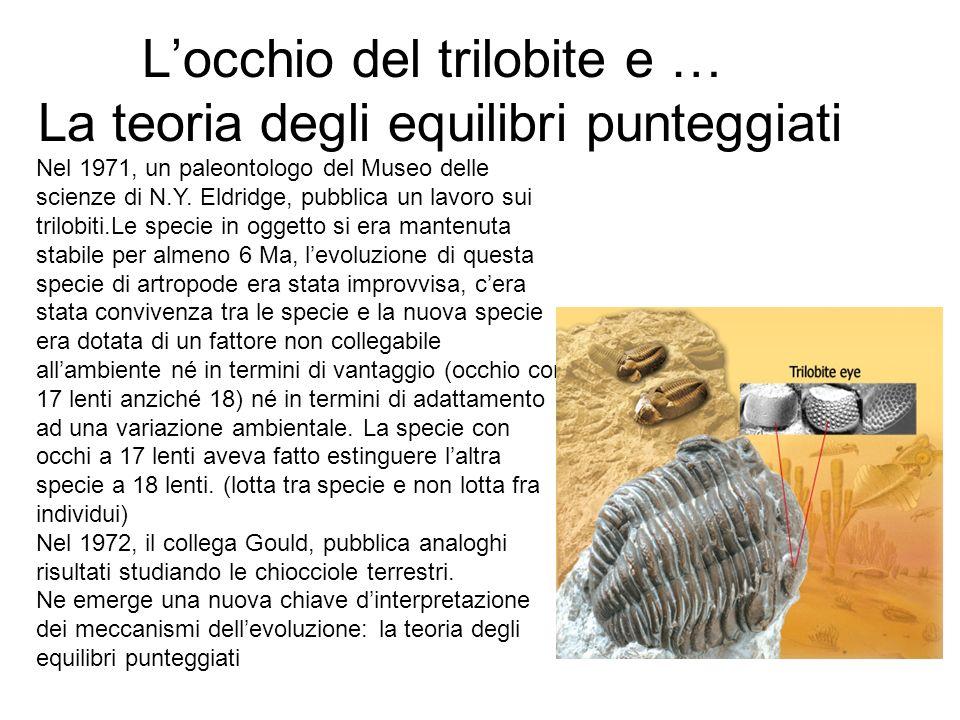 Locchio del trilobite e … La teoria degli equilibri punteggiati Nel 1971, un paleontologo del Museo delle scienze di N.Y. Eldridge, pubblica un lavoro