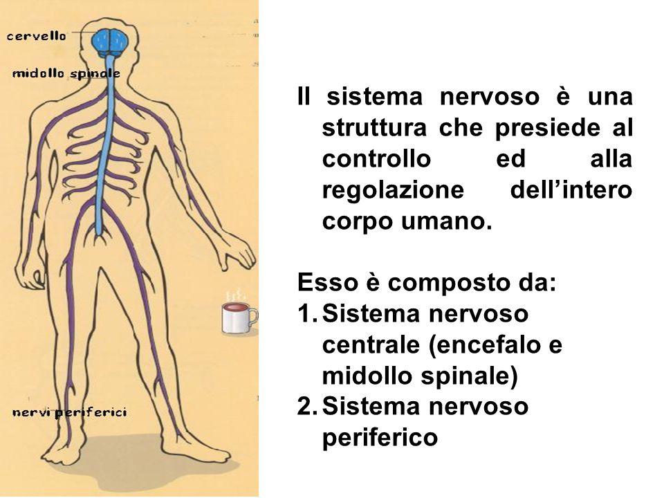 Il sistema nervoso è una struttura che presiede al controllo ed alla regolazione dellintero corpo umano. Esso è composto da: 1.Sistema nervoso central