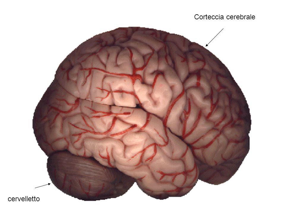 Corteccia cerebrale cervelletto