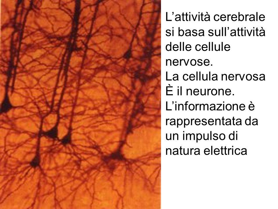 Lattività cerebrale si basa sullattività delle cellule nervose. La cellula nervosa È il neurone. Linformazione è rappresentata da un impulso di natura