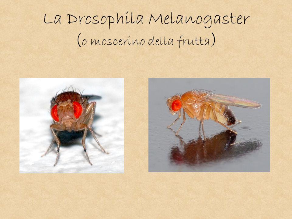 La Drosophila Melanogaster ( o moscerino della frutta )