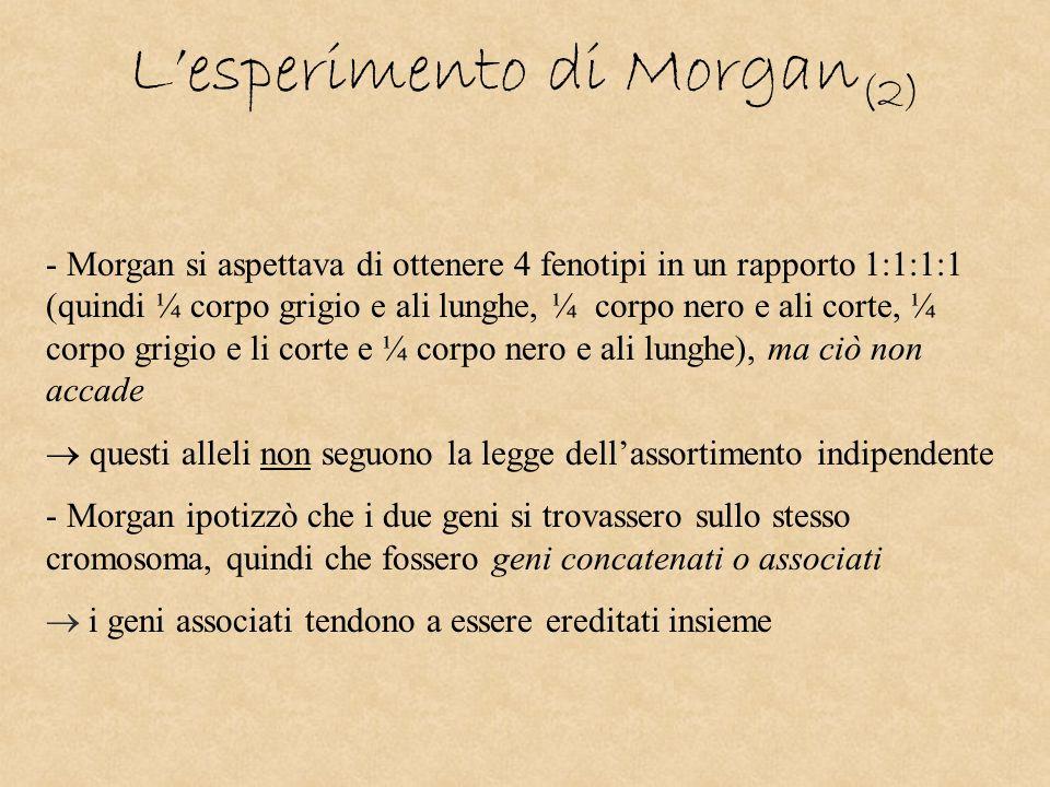 Lesperimento di Morgan (2) - Morgan si aspettava di ottenere 4 fenotipi in un rapporto 1:1:1:1 (quindi ¼ corpo grigio e ali lunghe, ¼ corpo nero e ali
