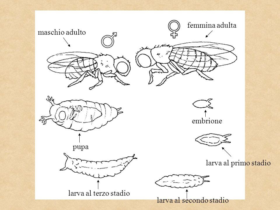 embrione larva al primo stadio larva al secondo stadio pupa larva al terzo stadio maschio adulto femmina adulta