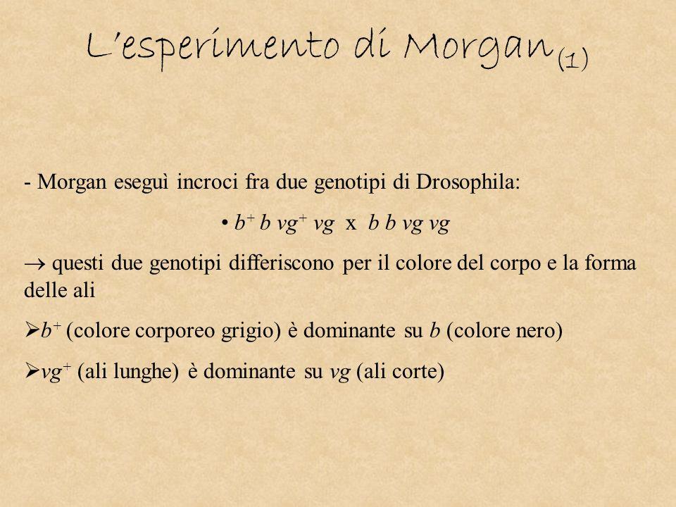 Lesperimento di Morgan (1) - Morgan eseguì incroci fra due genotipi di Drosophila: b + b vg + vg x b b vg vg questi due genotipi differiscono per il c