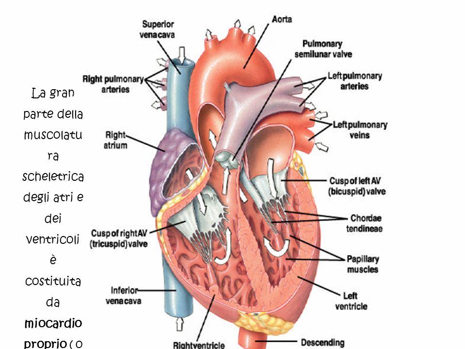 La gran parte della muscolatu ra scheletrica degli atri e dei ventricoli è costituita da miocardio proprio ( o miocardio di lavoro).