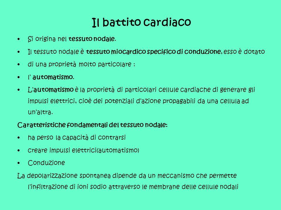 Il battito cardiaco Si origina nel tessuto nodale. Il tessuto nodale è tessuto miocardico specifico di conduzione, esso è dotato di una proprietà molt
