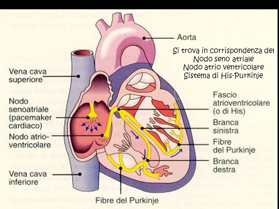 Si trova in corrispondenza del Nodo seno atriale Nodo atrio ventricolare Sistema di His-Purkinje