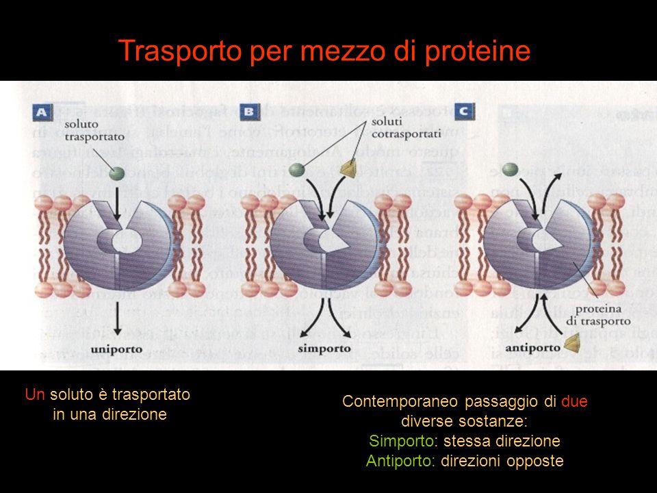 Trasporto per mezzo di proteine Un soluto è trasportato in una direzione Contemporaneo passaggio di due diverse sostanze: Simporto: stessa direzione A