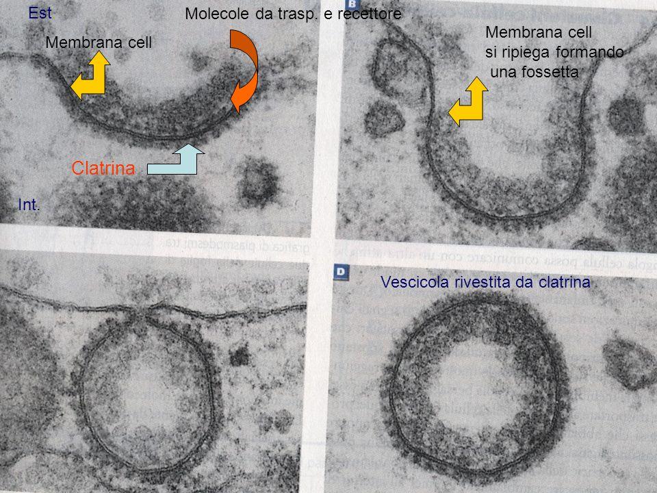 Clatrina Est. Int. Vescicola rivestita da clatrina Membrana cell si ripiega formando una fossetta Molecole da trasp. e recettore