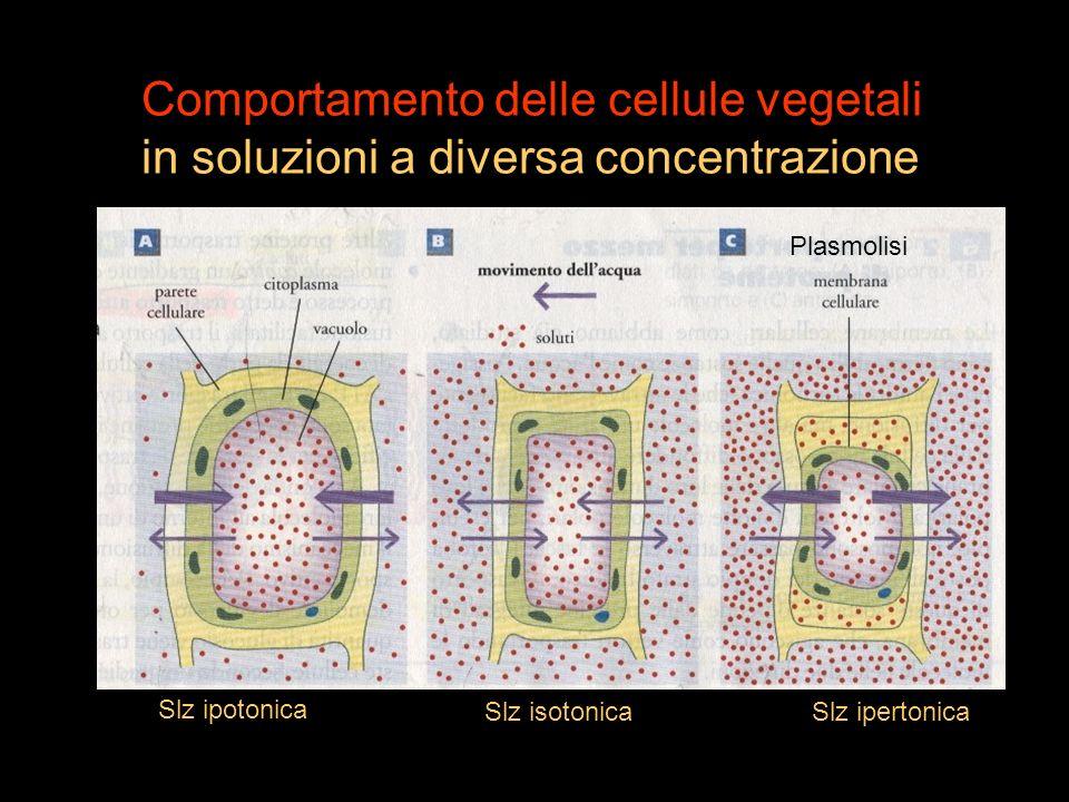 Comportamento delle cellule vegetali in soluzioni a diversa concentrazione Plasmolisi Slz ipotonica Slz isotonicaSlz ipertonica