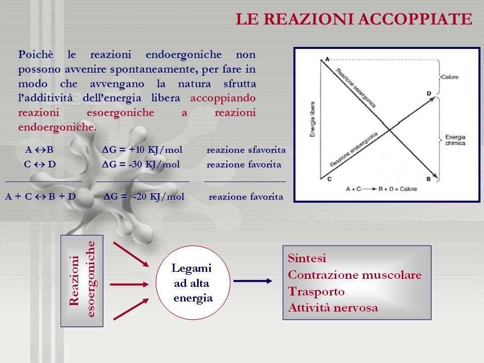 LE REAZIONI ACCOPPIATE accoppiando reazioni esoergoniche a reazioni endoergoniche. Poichè le reazioni endoergoniche non possono avvenire spontaneament