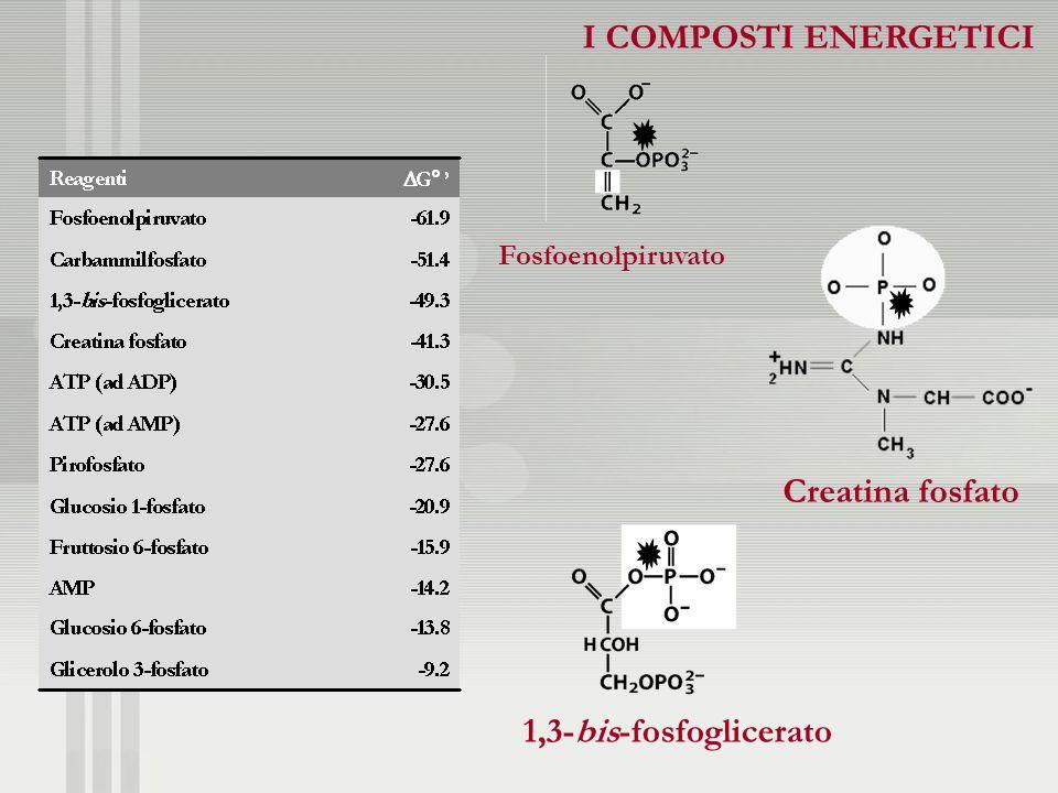 Fosfoenolpiruvato Creatina fosfato 1,3-bis-fosfoglicerato I COMPOSTI ENERGETICI I COMPOSTI ENERGETICI