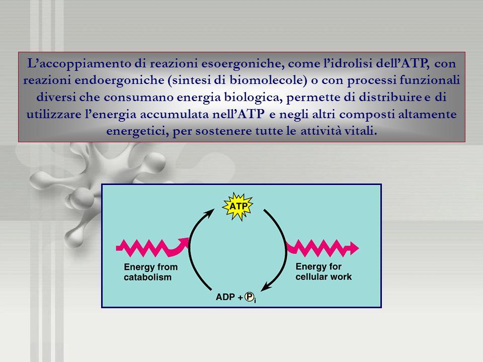 Laccoppiamento di reazioni esoergoniche, come lidrolisi dellATP, con reazioni endoergoniche (sintesi di biomolecole) o con processi funzionali diversi