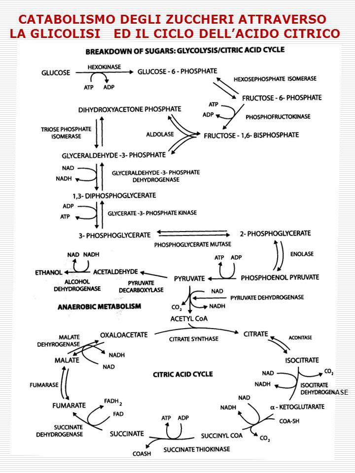 METABOLISMO DEI CARBOIDRATI NEI FRUTTI Acido nucleico