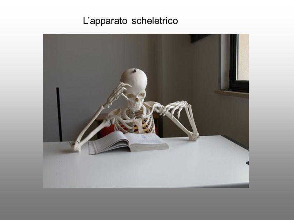 Lapparato scheletrico