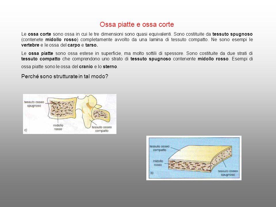 Ossa piatte e ossa corte Le ossa corte sono ossa in cui le tre dimensioni sono quasi equivalenti. Sono costituite da tessuto spugnoso (contenete midol