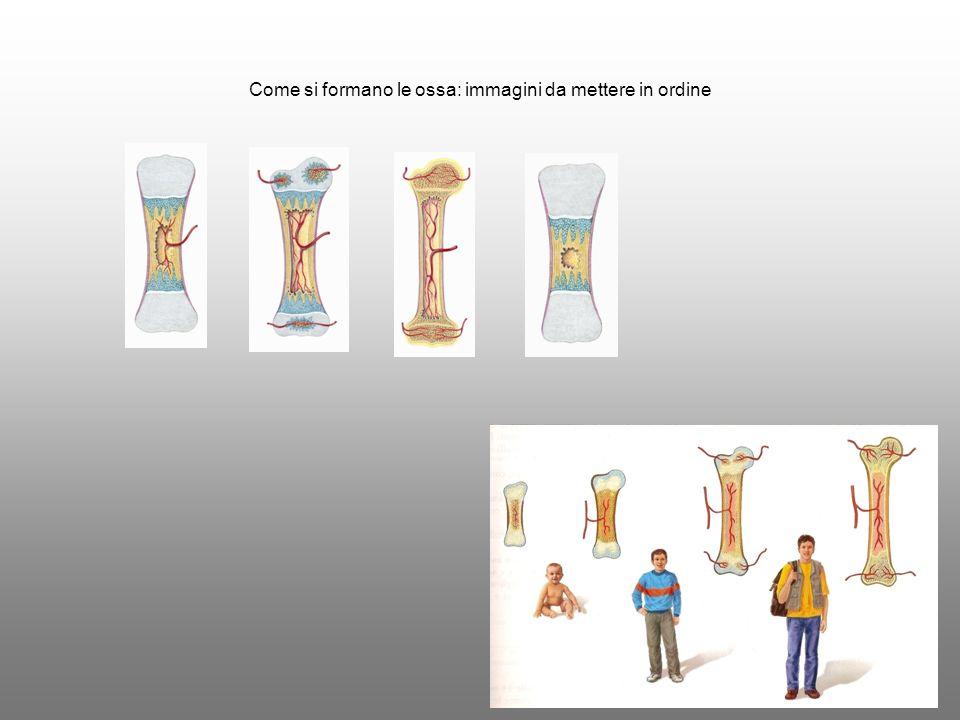 Come si formano le ossa: immagini da mettere in ordine