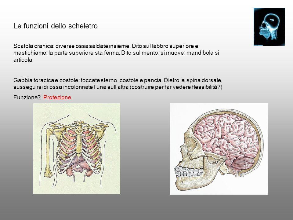 Le funzioni dello scheletro Scatola cranica: diverse ossa saldate insieme. Dito sul labbro superiore e mastichiamo: la parte superiore sta ferma. Dito