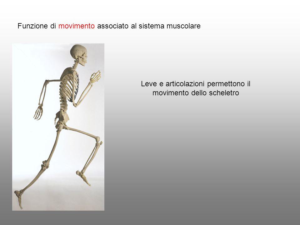 Funzione di movimento associato al sistema muscolare Leve e articolazioni permettono il movimento dello scheletro