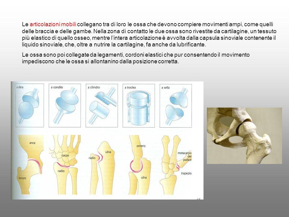 Le articolazioni mobili collegano tra di loro le ossa che devono compiere movimenti ampi, come quelli delle braccia e delle gambe. Nella zona di conta