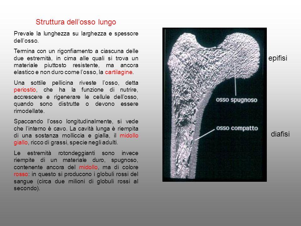 Struttura dellosso lungo Prevale la lunghezza su larghezza e spessore dellosso. Termina con un rigonfiamento a ciascuna delle due estremità, in cima a