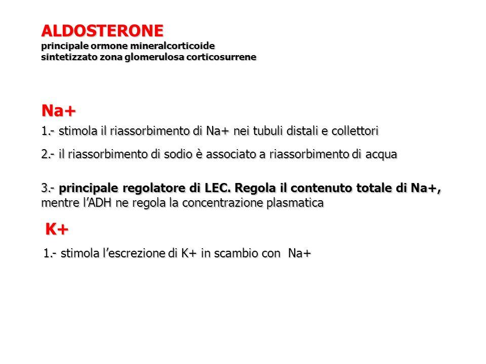 ALDOSTERONE principale ormone mineralcorticoide sintetizzato zona glomerulosa corticosurrene 1.- stimola il riassorbimento di Na+ nei tubuli distali e