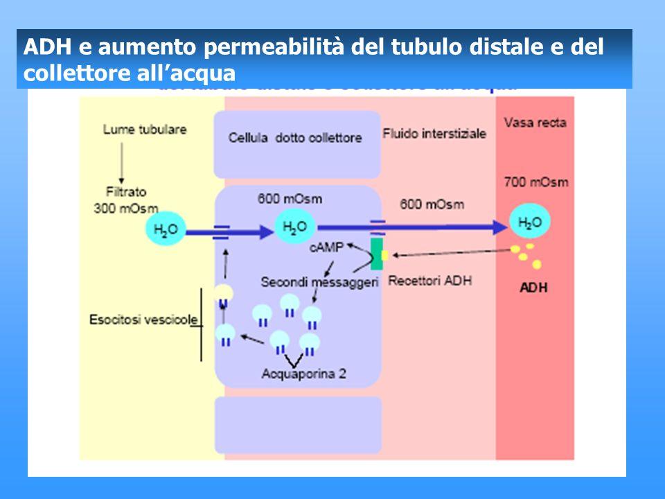 ADH e aumento permeabilità del tubulo distale e del collettore allacqua