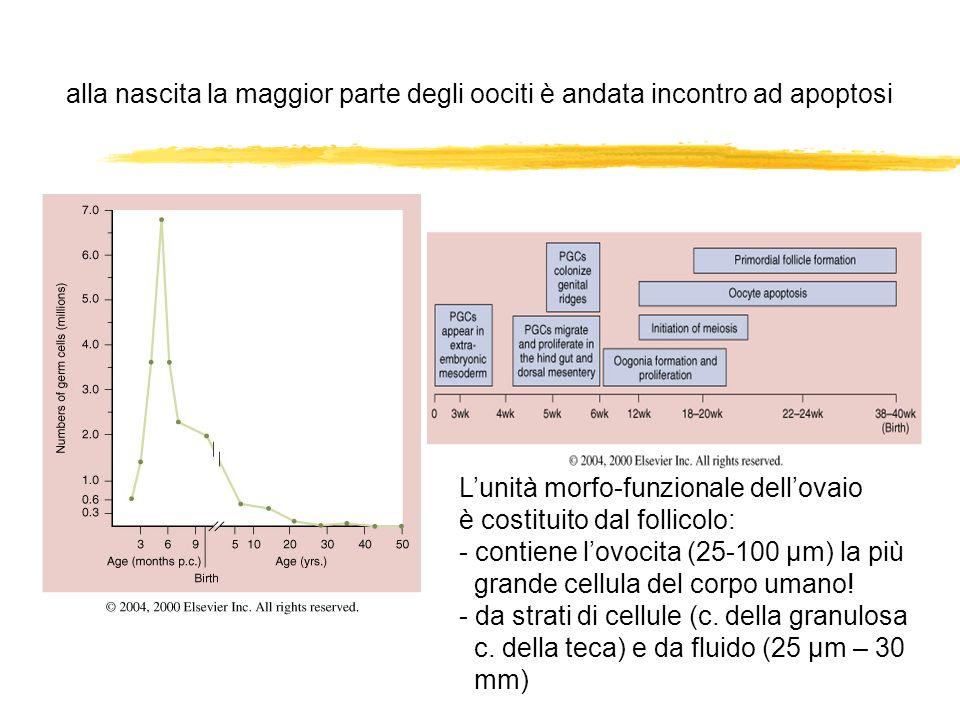 alla nascita la maggior parte degli oociti è andata incontro ad apoptosi Lunità morfo-funzionale dellovaio è costituito dal follicolo: - contiene lovo
