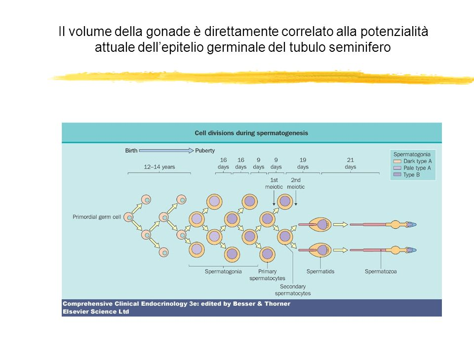 Il volume della gonade è direttamente correlato alla potenzialità attuale dellepitelio germinale del tubulo seminifero