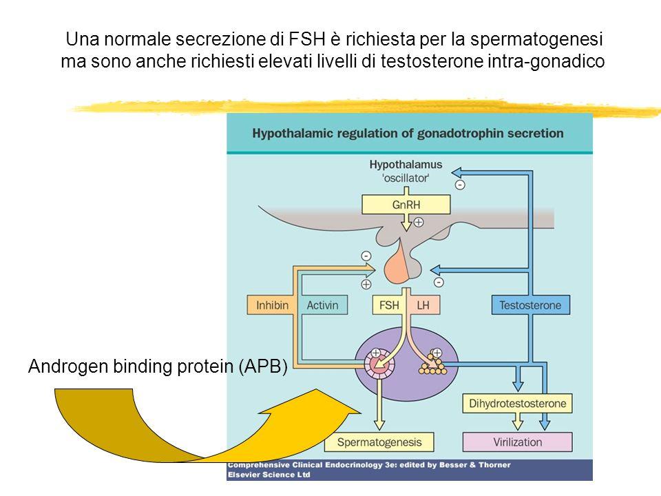 Una normale secrezione di FSH è richiesta per la spermatogenesi ma sono anche richiesti elevati livelli di testosterone intra-gonadico Androgen bindin