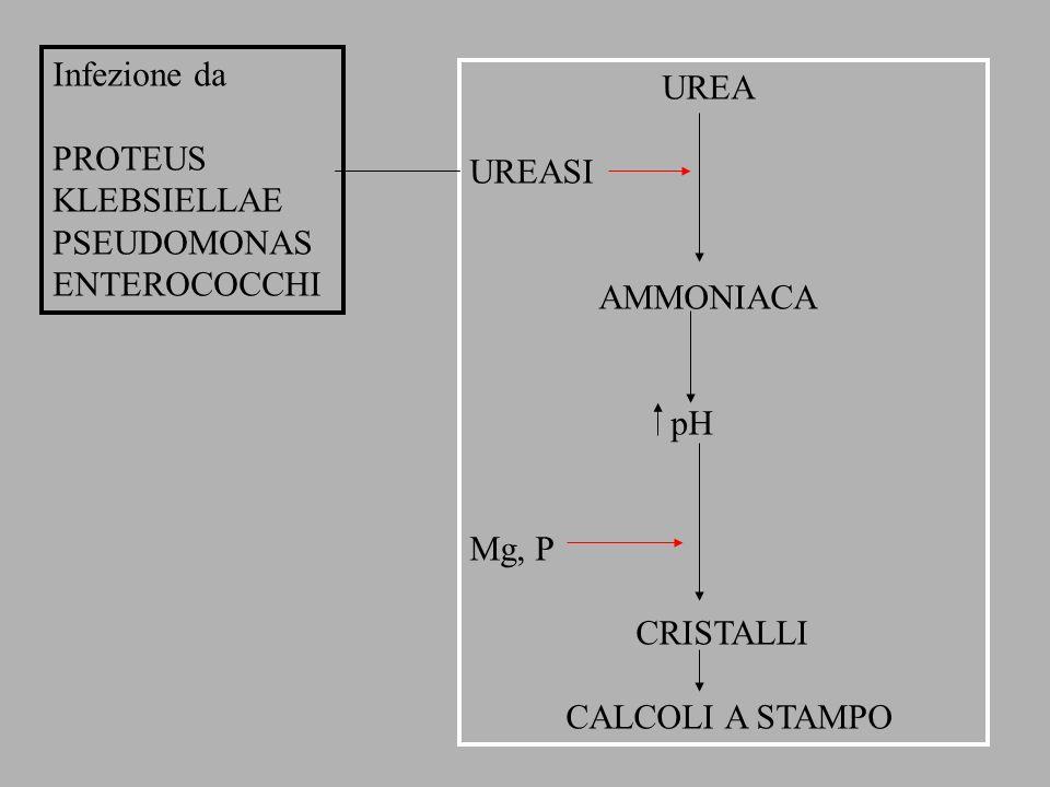 Infezione da PROTEUS KLEBSIELLAE PSEUDOMONAS ENTEROCOCCHI UREA UREASI AMMONIACA pH Mg, P CRISTALLI CALCOLI A STAMPO