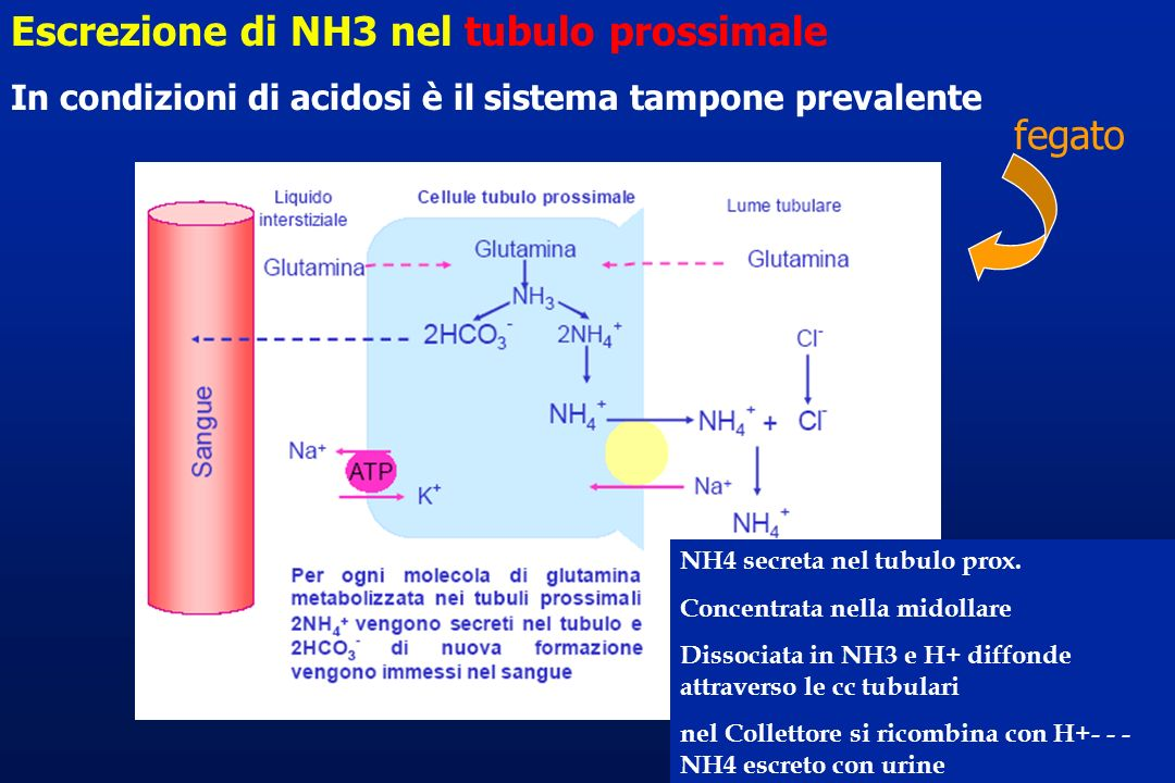 Escrezione di NH3 nel tubulo prossimale In condizioni di acidosi è il sistema tampone prevalente fegato NH4 secreta nel tubulo prox. Concentrata nella