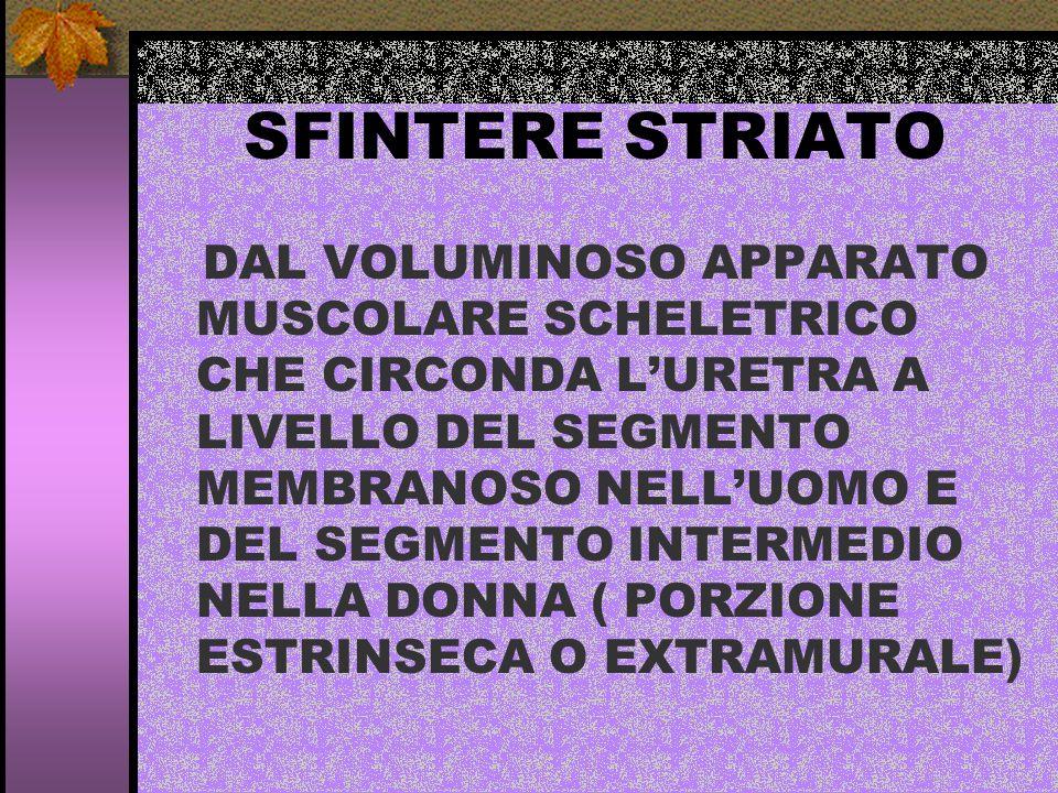 SFINTERE STRIATO DAL VOLUMINOSO APPARATO MUSCOLARE SCHELETRICO CHE CIRCONDA LURETRA A LIVELLO DEL SEGMENTO MEMBRANOSO NELLUOMO E DEL SEGMENTO INTERMED