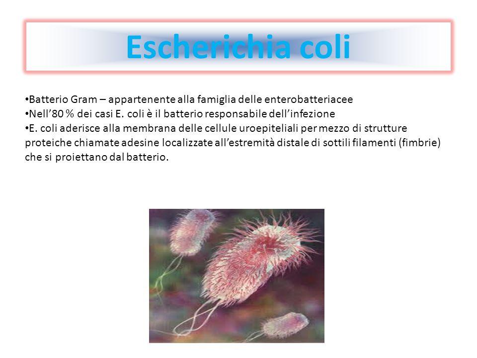 Escherichia coli Batterio Gram – appartenente alla famiglia delle enterobatteriacee Nell80 % dei casi E. coli è il batterio responsabile dellinfezione