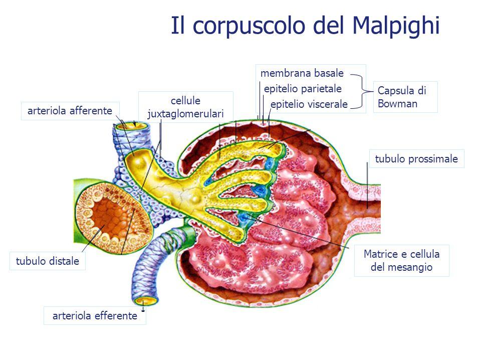 Il corpuscolo del Malpighi Capsula di Bowman arteriola efferente Matrice e cellula del mesangio cellule juxtaglomerulari tubulo distale tubulo prossim