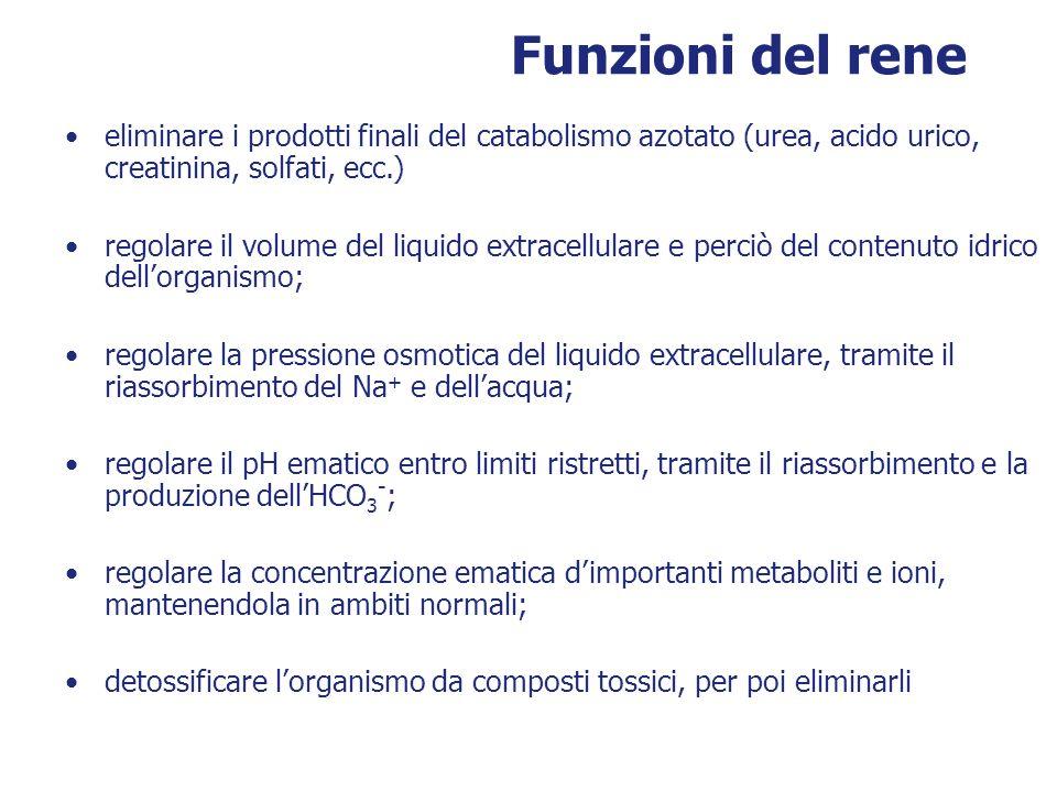 Funzioni del rene eliminare i prodotti finali del catabolismo azotato (urea, acido urico, creatinina, solfati, ecc.) regolare il volume del liquido ex
