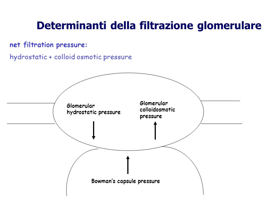 Determinanti della filtrazione glomerulare Glomerular hydrostatic pressure Glomerular colloidosmotic pressure Bowmans capsule pressure net filtration