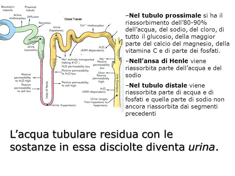 –Nel tubulo prossimale si ha il riassorbimento dell80-90% dellacqua, del sodio, del cloro, di tutto il glucosio, della maggior parte del calcio del ma