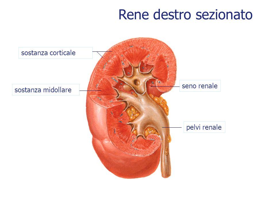 Rene destro sezionato seno renale pelvi renale sostanza corticale sostanza midollare