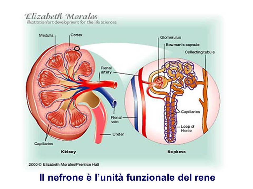 Il nefrone Ogni rene è composto da oltre 1 milione di nefroni … Quasi tutto il nefrone si trova nella sostanza corticale, solo lansa di Henle si trova nella sostanza midollare
